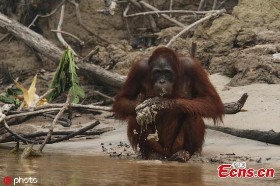 Orangutans survive forest fires in Indonesia