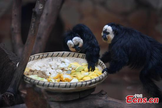 White-faced sakis meet the public in Yunnan zoo